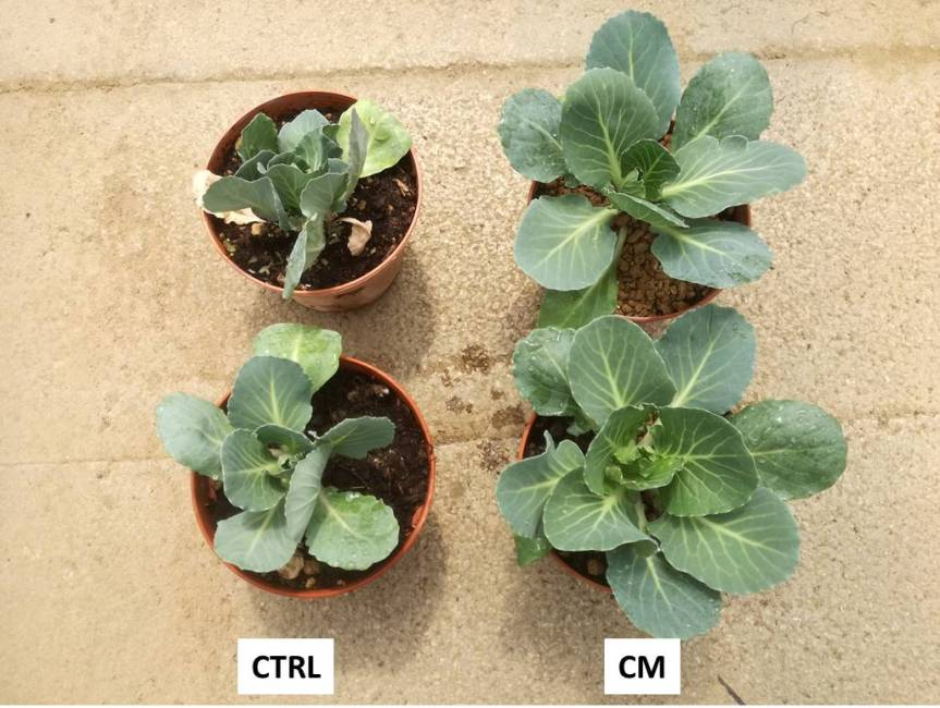 Article: Effect of natural zeolites and zeolites added with microorganisms for the growth of cabbage (Brassica oleracea var. capitata L.)