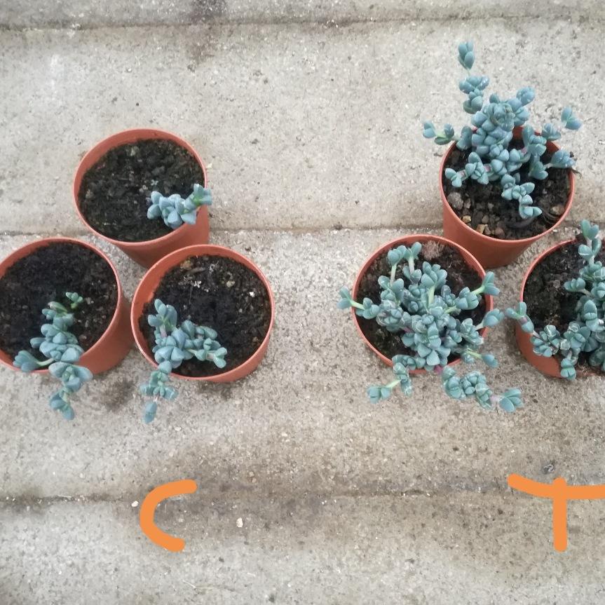 Macerato di fiori, foglie/stelo e radici di Inula viscosa nella coltivazione e difesa di oscularia deltoides e corpuscolarialehmanii