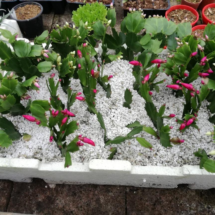 Uso di batteri promotori della crescita delle piante nella radicazione e coltivazione di schlumbergera truncata (cactus diNatale)