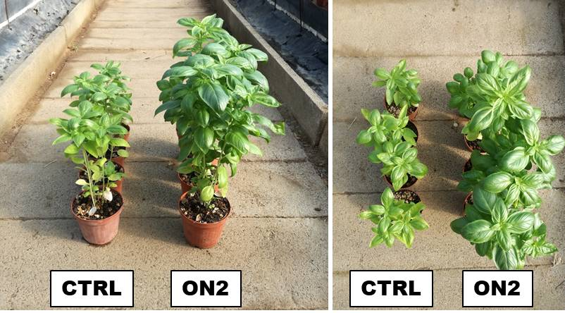 Article: Biostimulant based on liquid earthworm humus for improvement quality of basil (Ocimum basilicum L.)