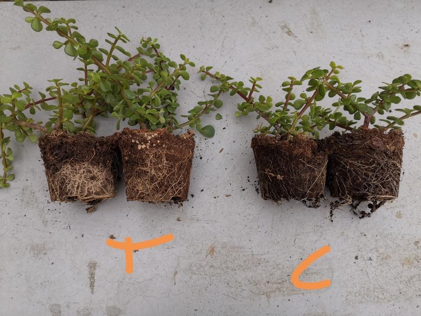 I Rizobatteri nella coltivazione diPortulacaria