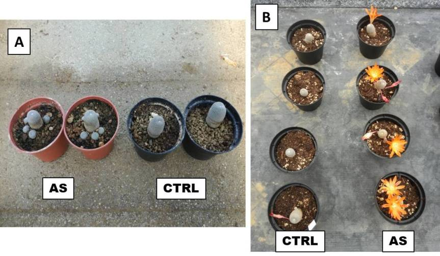 Article: Ascophyllum nodosum extract on growth plants in Rebutia heliosa and Sulcorebutia canigueralli