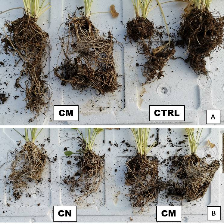 Article: Optimised fertilisation with zeolitites containing Plant Growth Promoting Rhizobacteria (PGPR) in Ranunculus asiaticus