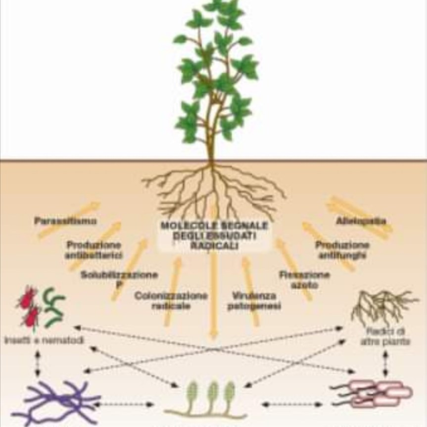 I plant growth promoting rhizobacteria in agricoltura sostenibile