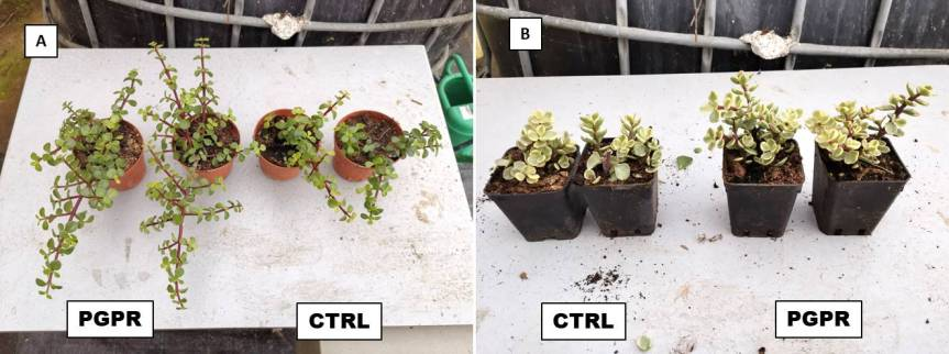 Article: Plant growth promoting Rhizobacteria: Increase of vegetative and roots biomass in Portulacariaafra