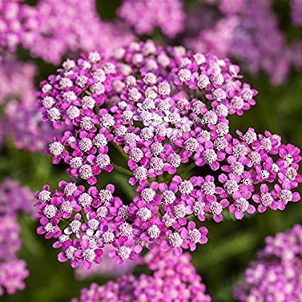 Uso medicinale di achilleamillefolium