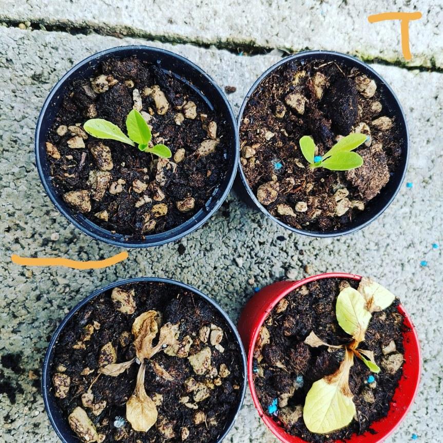 Uso di Trichoderma viride come biostimolante di lactuca sativa (Lattuga) e Brassica juncea (Mizunarossa)