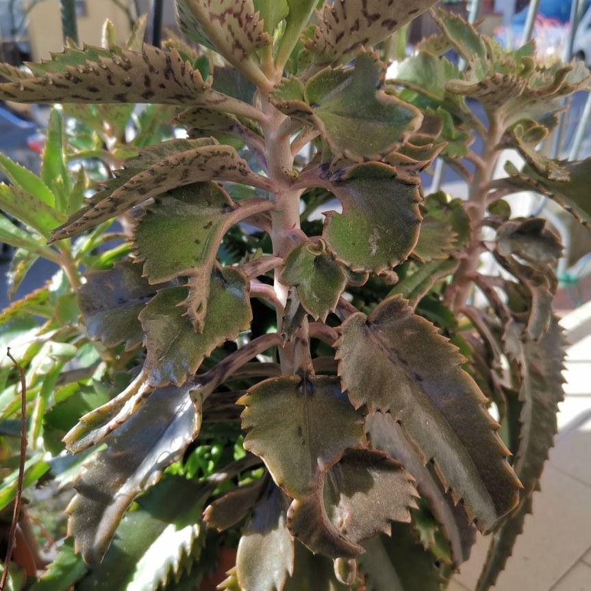 Kalanchoe daigremontiana: pianta dalle millevirtù