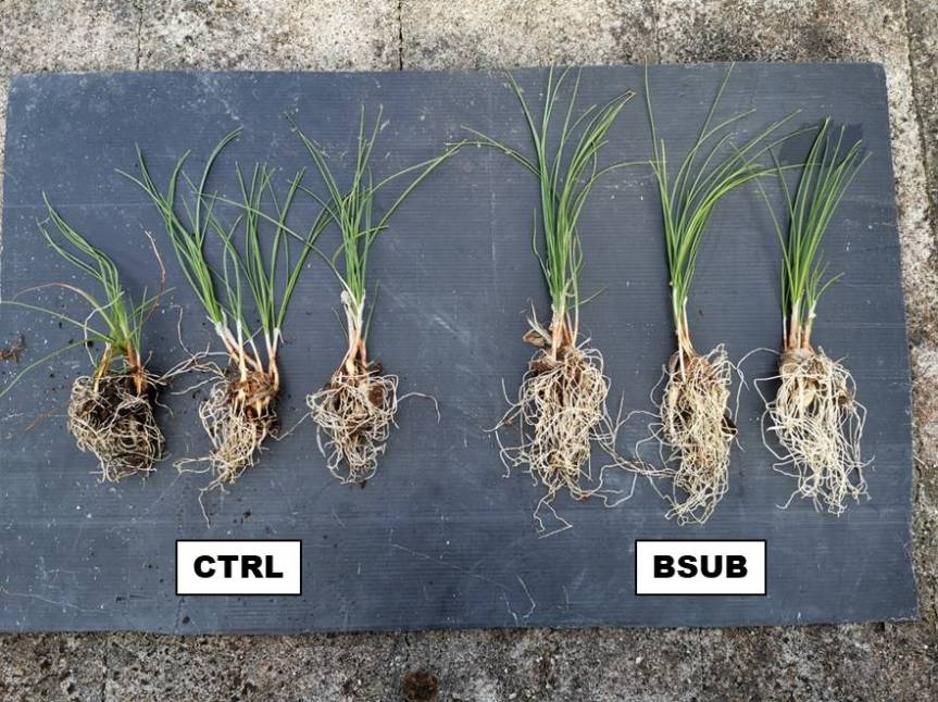Article: Improving Quality of Crocus Sativus Through the Use of Bacillus Subtilis