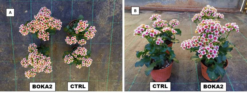 Article:EM-Bokashi Addition to the Growing Media for the Quality Improvement of Kalanchoe Blossfeldiana