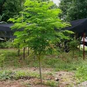 Proprietà medicinali di moringa oleifera (albero deimiracoli)