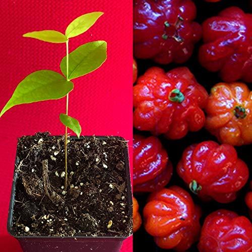 Piante alimentari insolite: Eugenia uniflora L. (pitanga, ciliegio delBrasile)