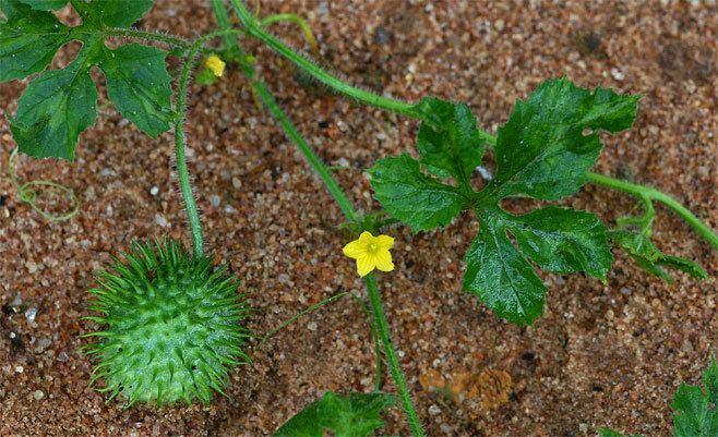 Piante alimentari insolite: Cucumis anguria L. (Cetriolino delleAntille)