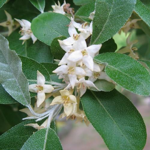Piante alimentari insolite: Eleagnus umbellata(Eleagno)
