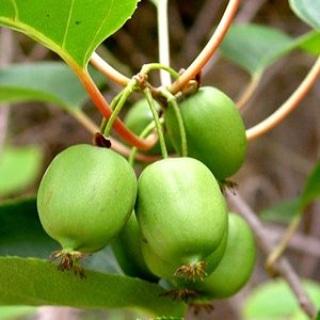 Piante alimentari insolite: Actinidia arguta(minikiwi)