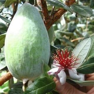Piante alimentari insolite: acca sellowiana(Feijoa)
