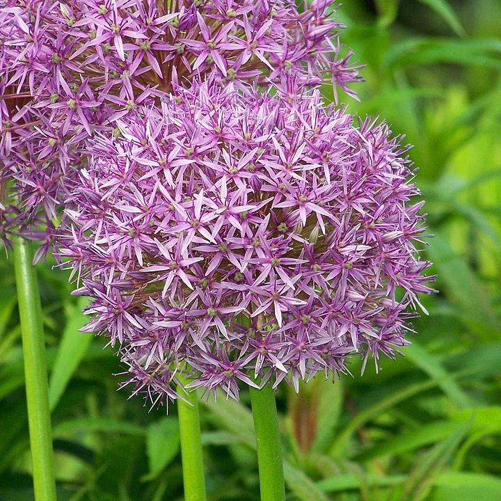 Piante alimentari insolite: Allium ampeloprasum (agliogigante)