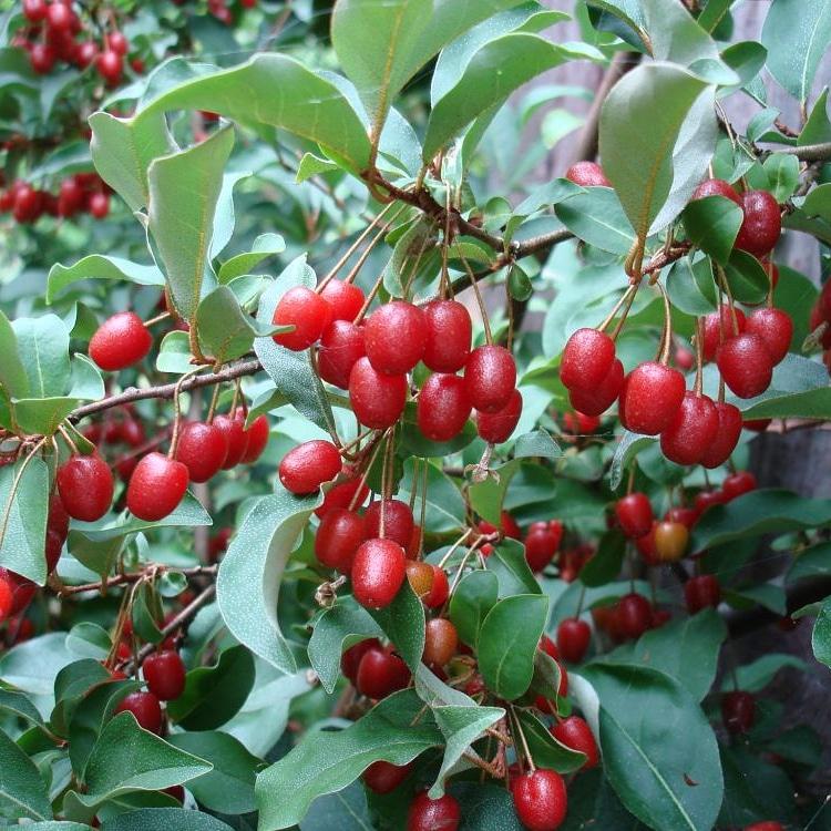 Piante alimentari insolite: elaeagnus multiflora (Goumi delGiappone)