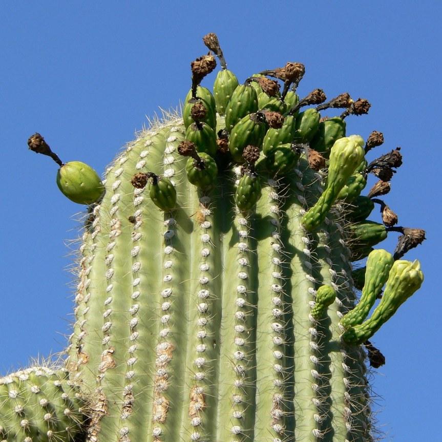 Cactus dai frutti edibili: Carnegia gigantea(Saguaro)