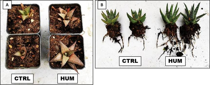 "Article: ""Qualitative and physiological effect of humic substances on Hawortia tessellata and Hawortia papillosa,"""
