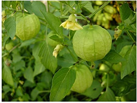 Uso alimentare di Physalis ixocarpa (pomodoroverde)
