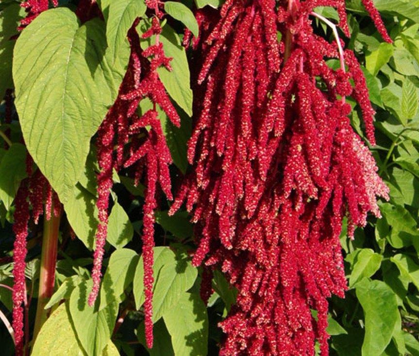 Piante alimentari insolite: Amaranthus caudatus(Amaranto)