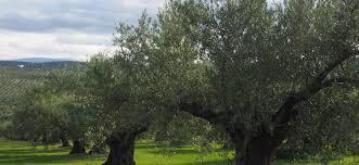 Classificazione botanica e caratteristiche della radice dell'olivo