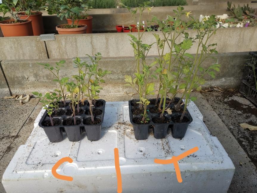 Effetto dell'uso di zeolitite arricchita di microrganismi (brevetto rif. 28106IT/MB/BF) nella coltivazione di pomodoro ecarciofo