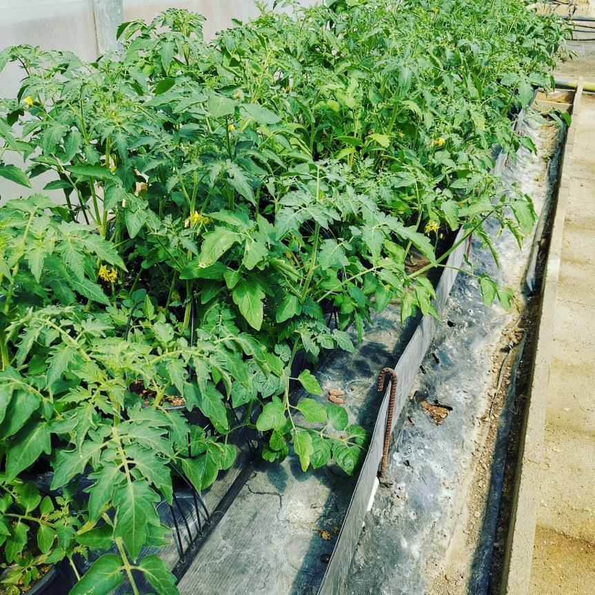 Zeolitite arricchita di microrganismi per la coltivazione (3-6 mm) e la protezione (10 micron) dipomodoro