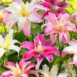 Bulbose ornamentali: ILilium