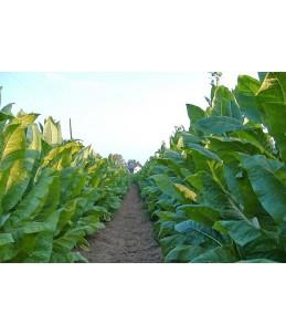 Piante medicinali insolite: Nicotiana tabacum (Tabacco dellaVirginia)