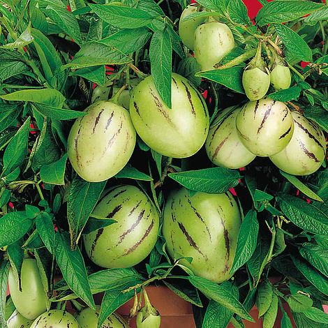 Piante alimentari insolite: Solanum muricatum (peramelone)