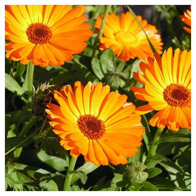 I fiori edibili. Qualisono?