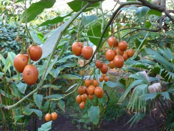 Utilizzo alimentare di cyphomandra betacea(tamarillo)