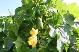 Coltivazione alimentare di Benincasa hispida (zuccacerosa)