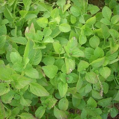 Uso alimentare di Plectranthus rotundifolius (patatanativa)