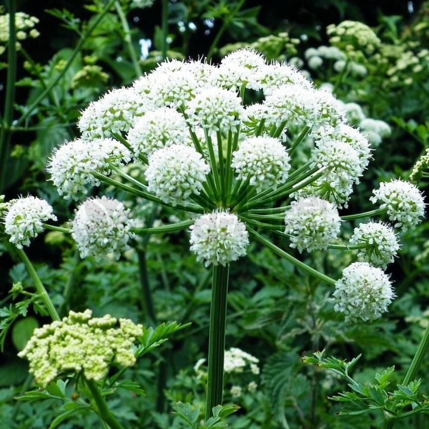Utilizzo medicinale di Angelicaarchangelica