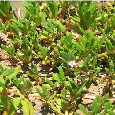 Le specie Alofite e la loro resistenza alsale