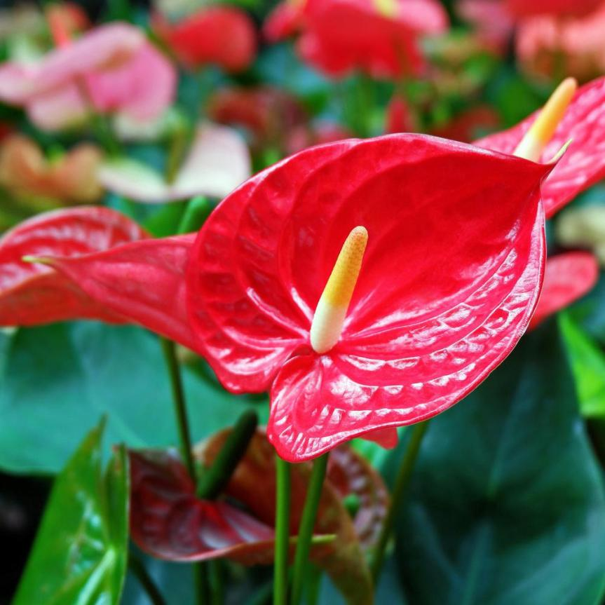 La coltivazione micronaturale dell'Anthurium