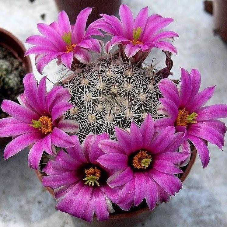 Linea ricerca Cactus esucculente