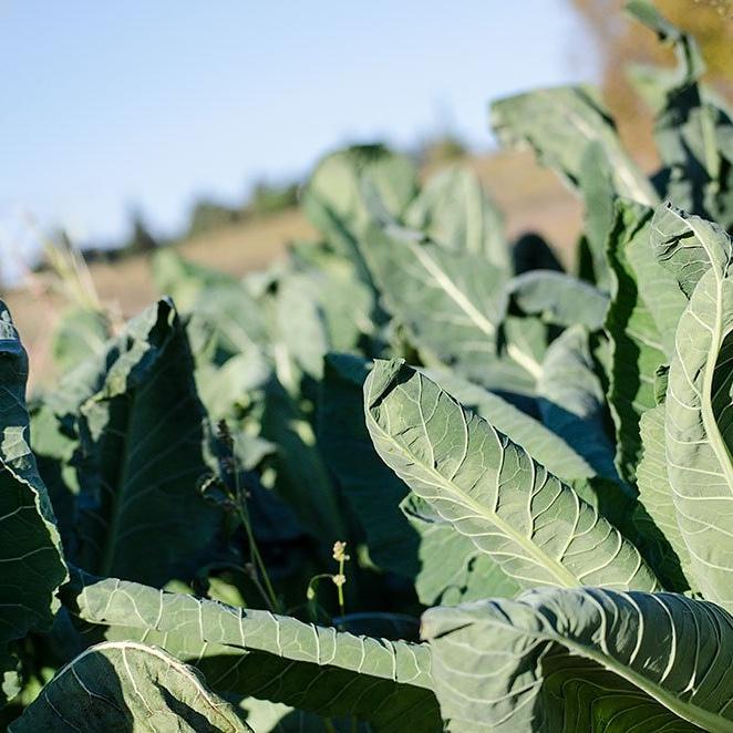 Uso alimentare del Broccoletto di custoza (Brassica oleracea subsp.botrytis)