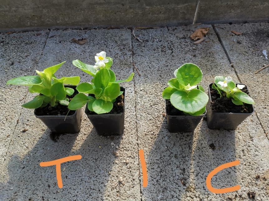 Uso di micorrize nella coltivazione dibegonia
