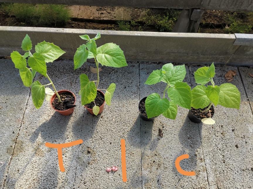 Uso di Effective microorganisms nella coltivazione diAlkekengi