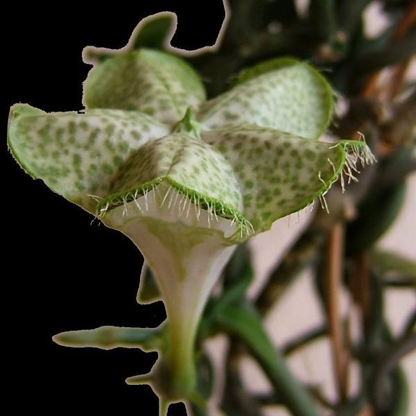 Il fiore che puzza di apemorente
