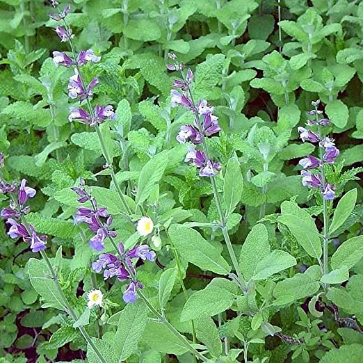 Coltivazione e uso di Salvia officinalis