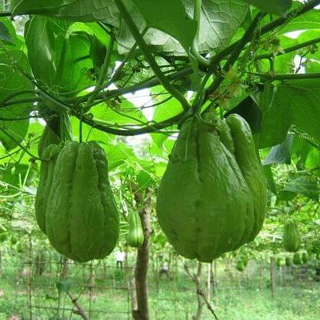 Utilizzo alimentare di sechium edule (zuccacentenaria)