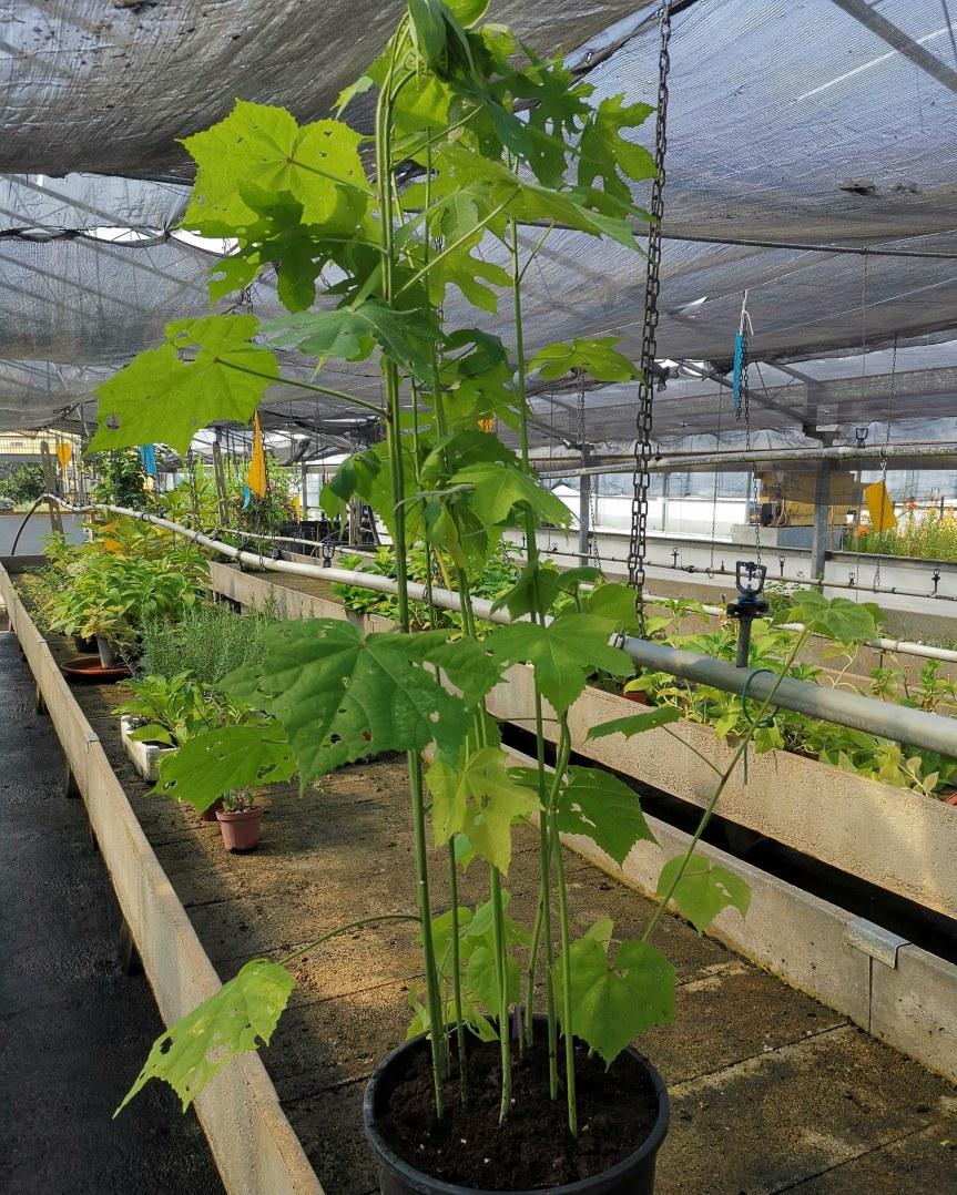 Hibiscus manihot e moscheutos conmicrorganismi