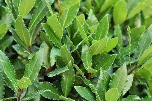 Coltivazione e uso di Laurus nobilis(alloro)