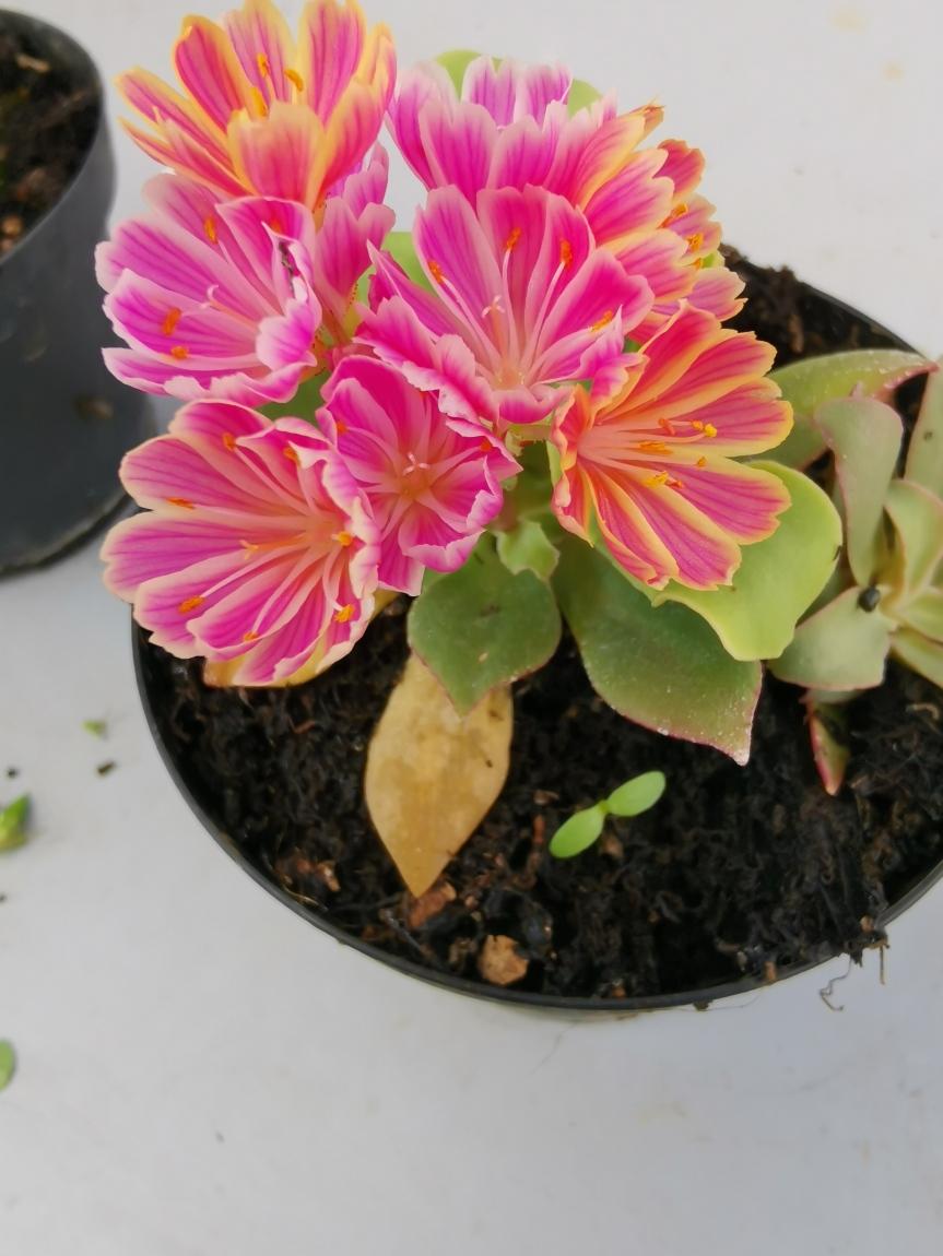 Induzione della fioritura su lewisia cotyledon in seguito a stressidrico