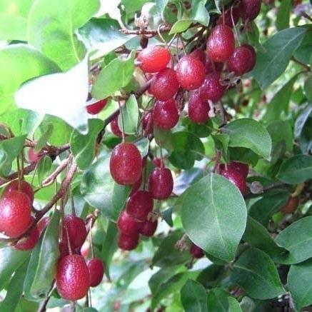 La coltivazione di Eleagnus multiflora (Goumi delGiappone)